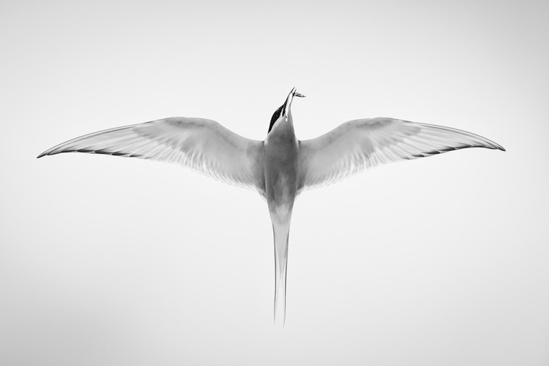 Arctic Tern copy - Wildlife
