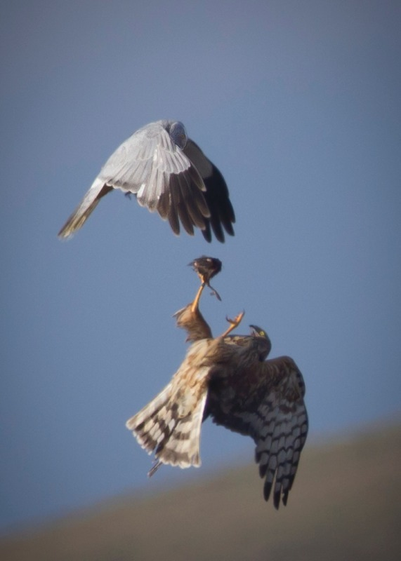 Hen Harrier food pass - Birds of Prey and Owls