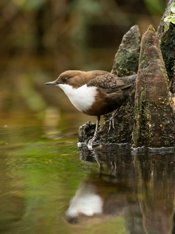 Dipper at Loch Morlich - Water Margins: Waders, Rails, Crakes, Reedling, Dipper and Kingfisher.