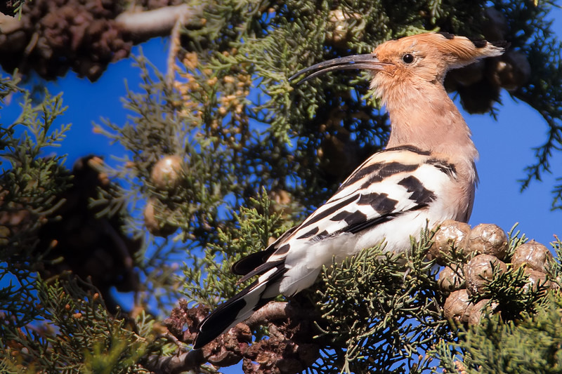 Hoopoe - Meadows, gardens and arable: Pipits, Wagtails, Chats, Finches, and Buntings.
