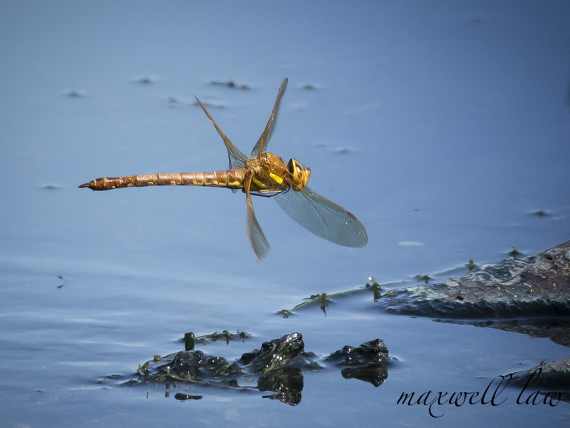 Brown Hawker - Wildlife