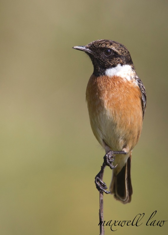 Stonechat-2 - Meadows, gardens and arable: Pipits, Wagtails, Chats, Finches, and Buntings.