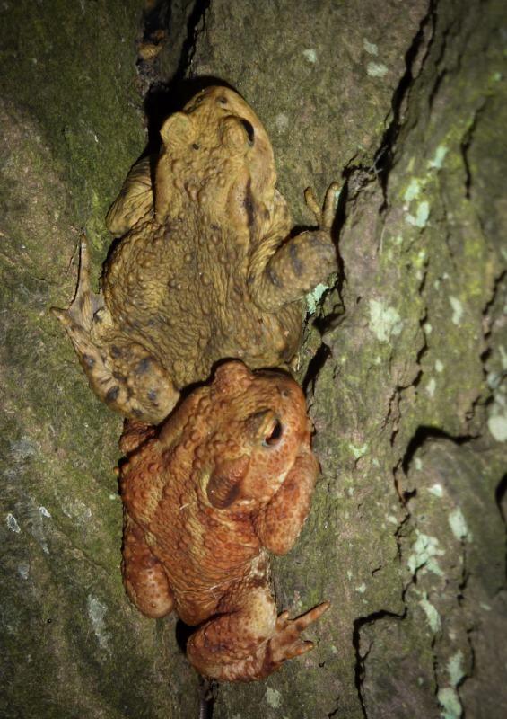 tree toads-1020663 - Wildlife