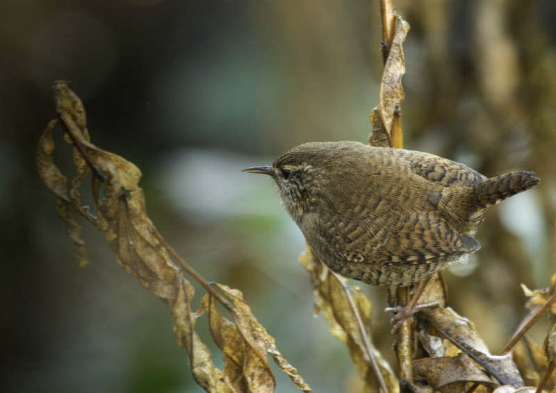 Jenny Wren in undergrowth - Meadows, gardens and arable: Pipits, Wagtails, Chats, Finches, and Buntings.