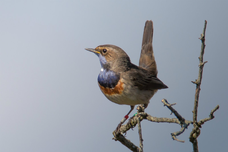 White Spotted Bluethroat 12x8 - Water Margins: Waders, Rails, Crakes, Reedling, Dipper and Kingfisher.