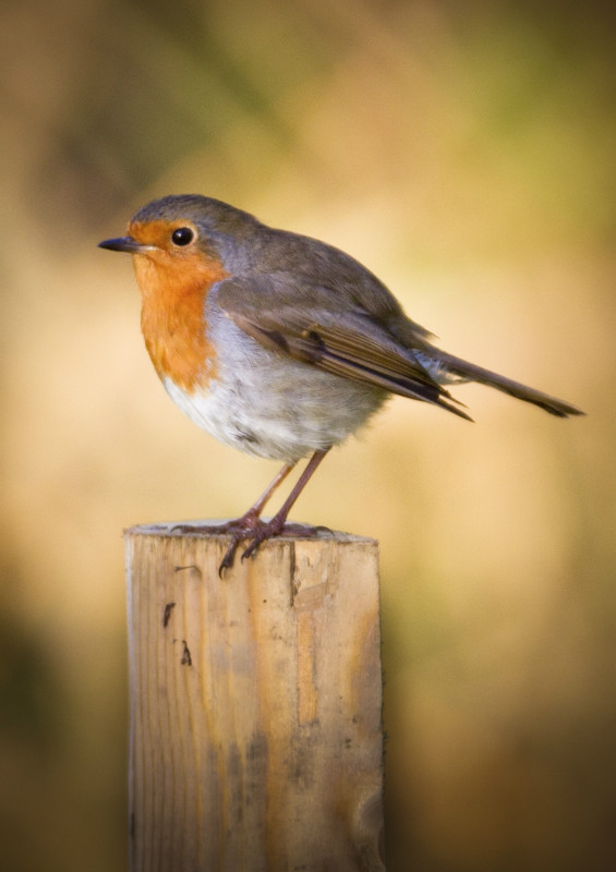 Robin on post A3 - Meadows, gardens and arable: Pipits, Wagtails, Chats, Finches, and Buntings.