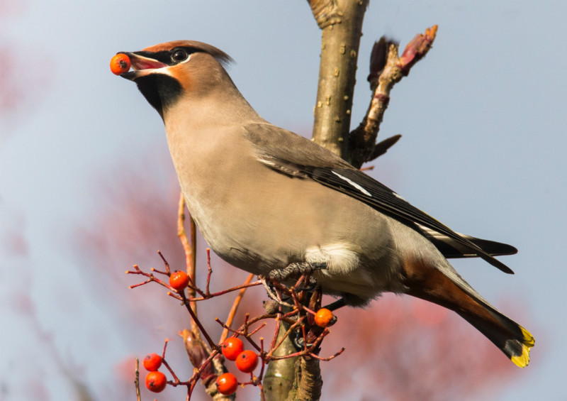 Waxwing-2 - Trees and hedges: Waxwing, Accentors, Shrikes, Starlings, Sparrows and Wren