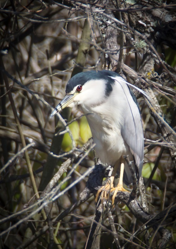 Night Heron - Big waders etc: Crane, Storks, Bustards, Ibises and Herons.