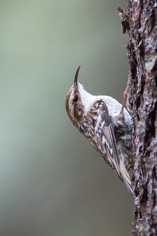 Treecreeper-3 - Trees and hedges: Waxwing, Accentors, Shrikes, Starlings, Sparrows and Wren