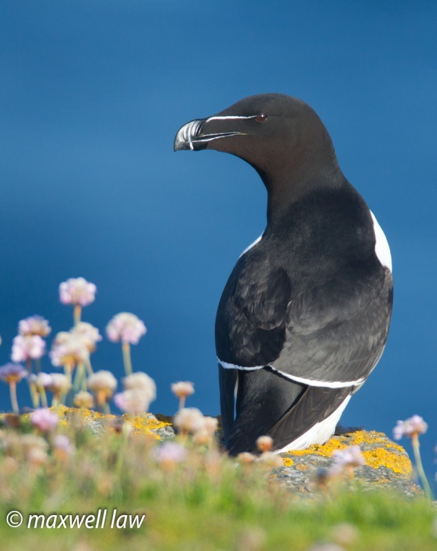 Razorbill Papa 1-8566 - Seabirds: Gulls, Skuas, Terns, Gannets, Cormorants and Auks