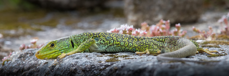 Oscillated Lizard - Wildlife