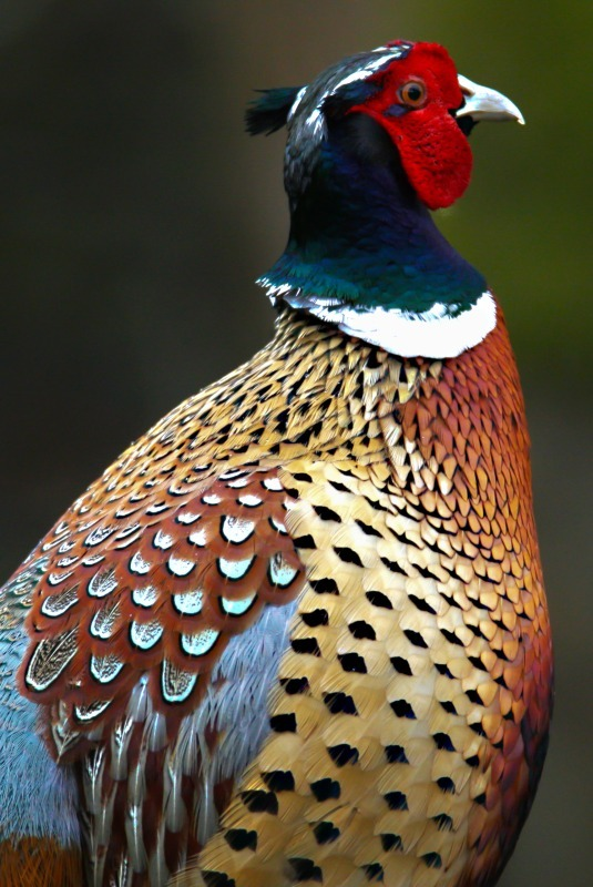 Cock Pheasant-1 - Farmland and moors: Pheasants, Grouse, Partridge, Pigeon, Doves and Crows