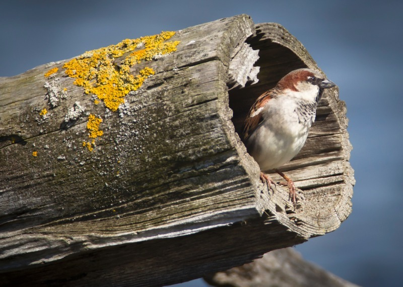 House Sparrow - Trees and hedges: Waxwing, Accentors, Shrikes, Starlings, Sparrows and Wren