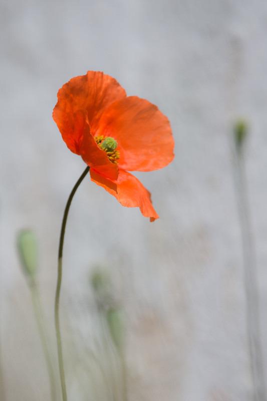 Poppy - Plants / Flora