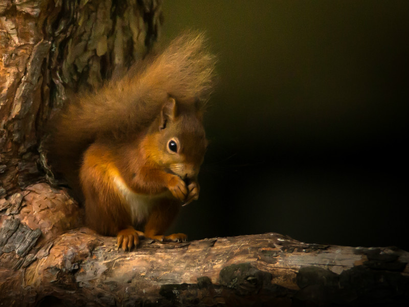 Red Squirrel at Loch Morlich 2 - Wildlife