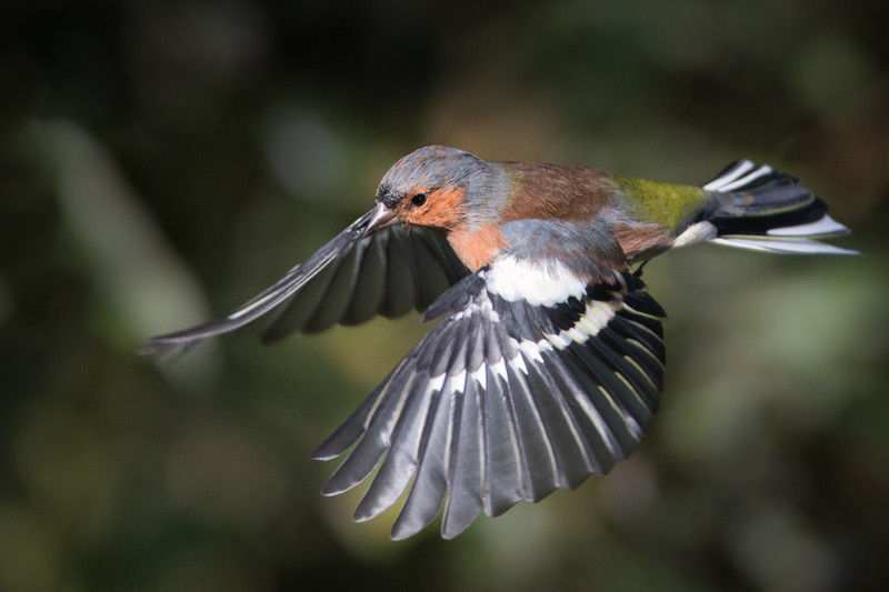 Chaffinch in flight - Meadows, gardens and arable: Pipits, Wagtails, Chats, Finches, and Buntings.