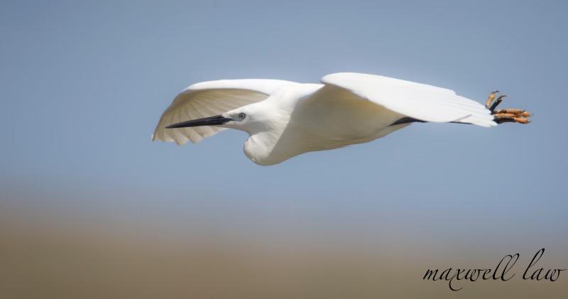 Little Egret at Cley - Big waders etc: Crane, Storks, Bustards, Ibises and Herons.