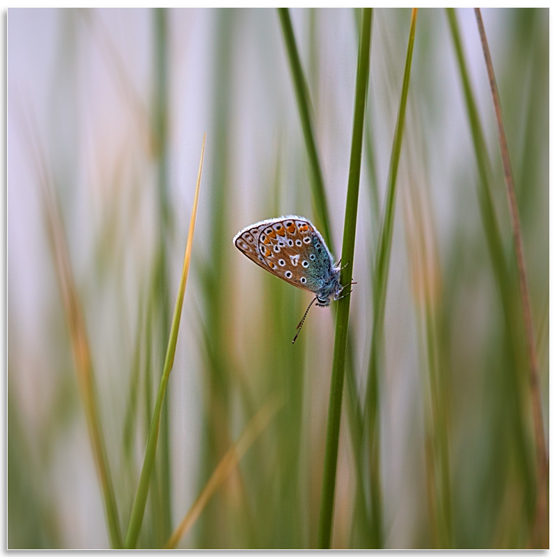 07082329 - Common Blue, Vazon - Guernsey Landscapes - Visions Gallery