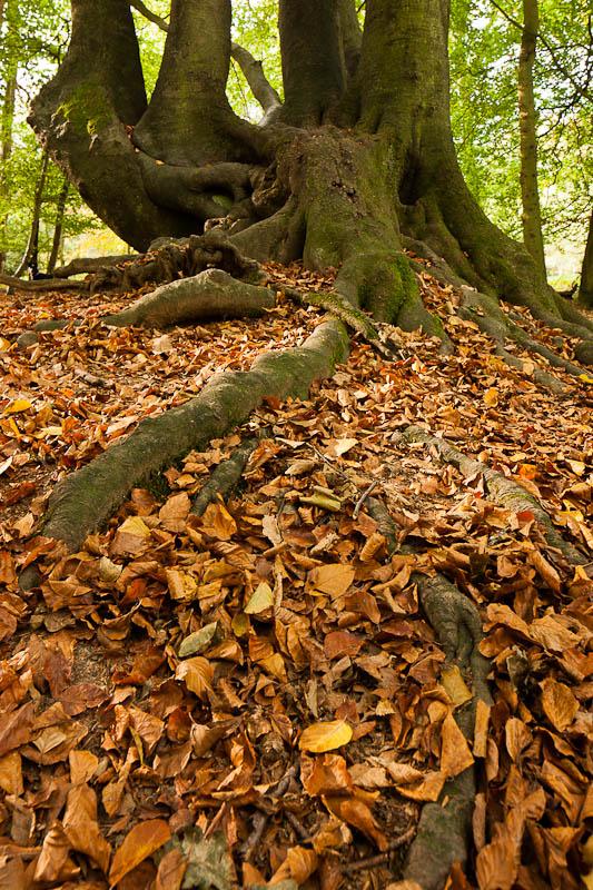 Ashridge Forest - Ashridge Estate - Hertfordshire - Trees & Autumn Leaves
