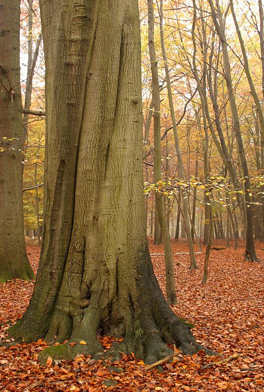 Ashridge Forest - Ashridge Estate - Hertfordshire - Ashridge Autumn Leaves Photos