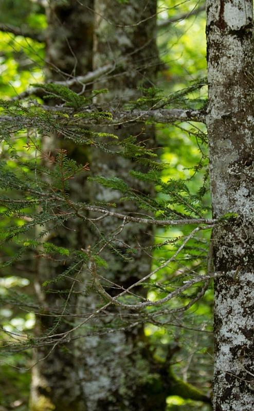 Silver Birch on Mountainside - Austria