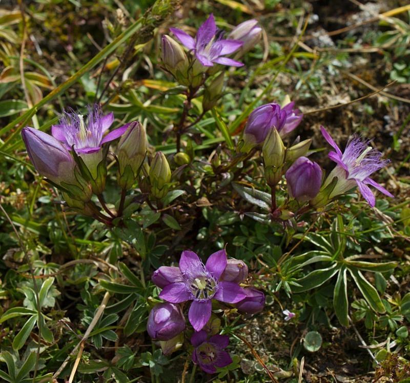 Alpine Flowers - Austria