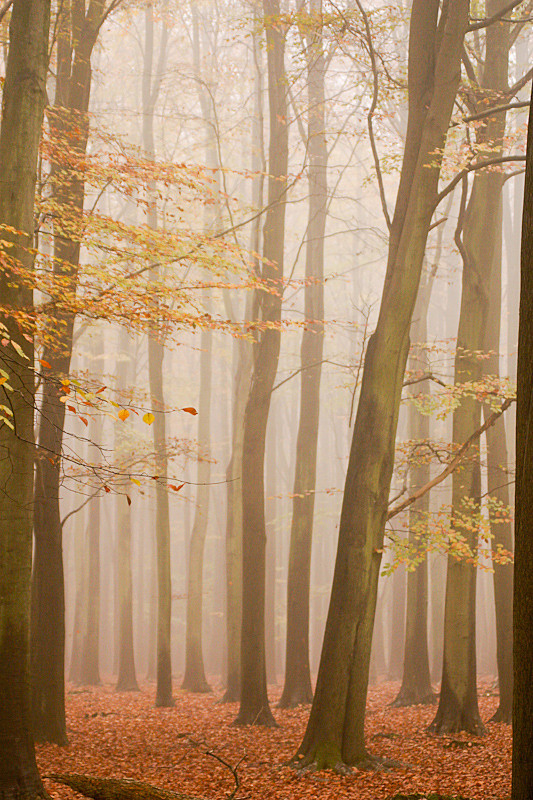 Ashridge Forest - Ashridge Estate - Hertfordshire - Ashridge Autumn Trees Leaves Fog Mist