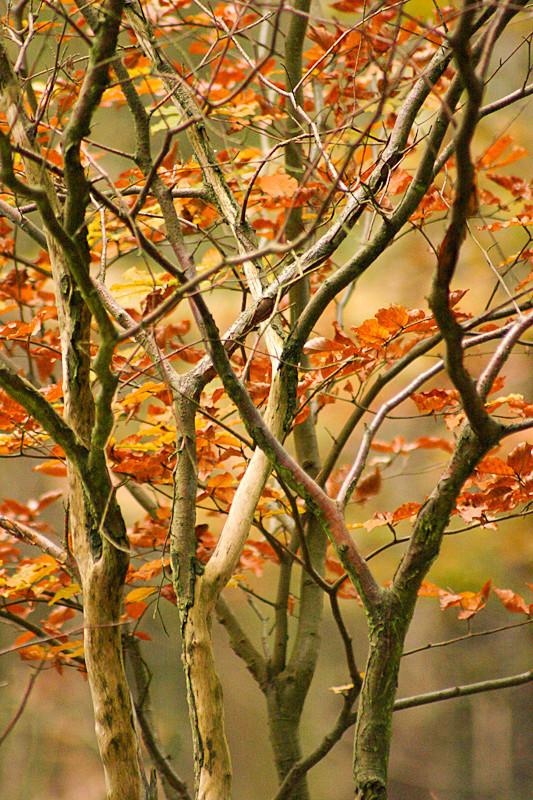 Ashridge Forest - Ashridge Estate - Hertfordshire - Ashridge Autumn Leaves