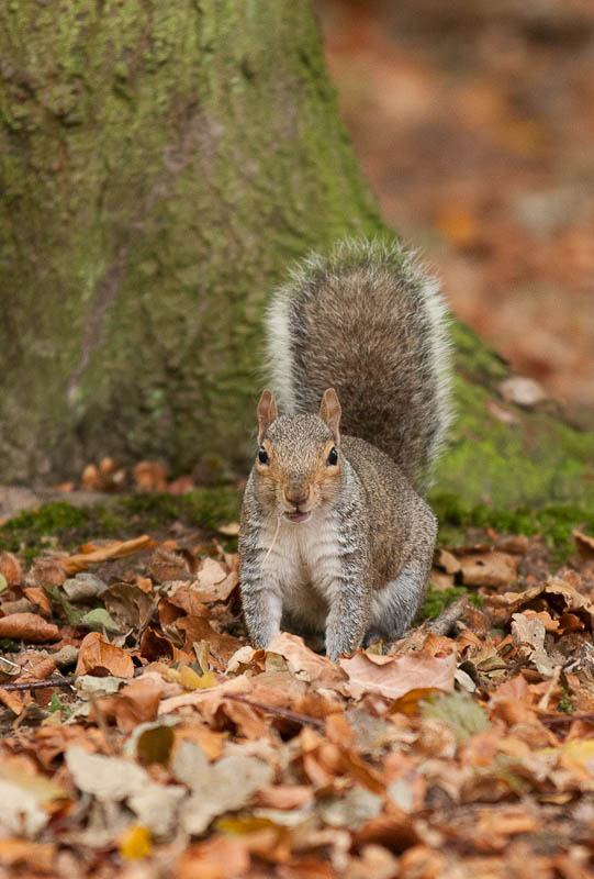 Ashridge Forest - Ashridge Estate - Hertfordshire - Ashridge Squirrels