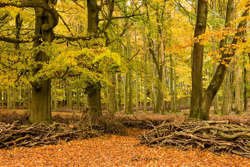 Ashridge_Trees_WB-4248 - Woodland & Forest Pictures