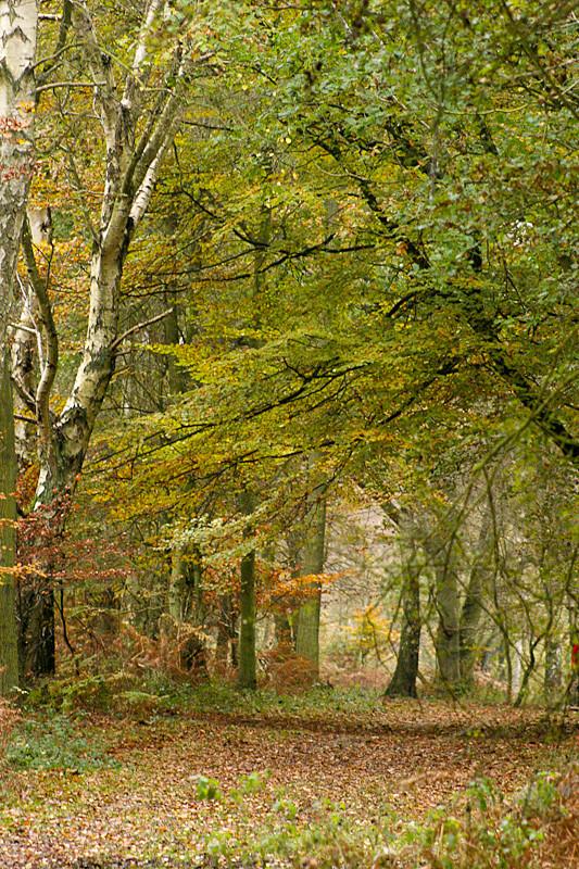 Ashridge Forest - Ashridge Estate - Hertfordshire - Ashridge Autumn Trees Leaves