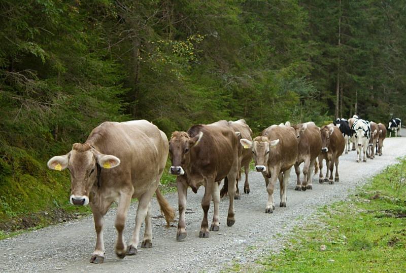 Grey cows in Austria coming home - Austria