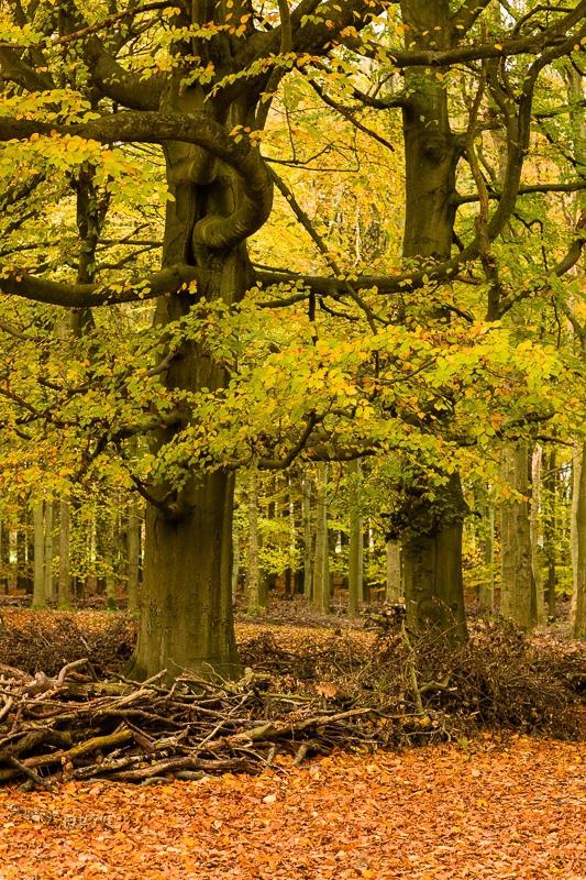 Ashridge_Trees_WB-4250 - Woodland & Forest Pictures