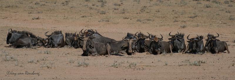 The gang - Antelope