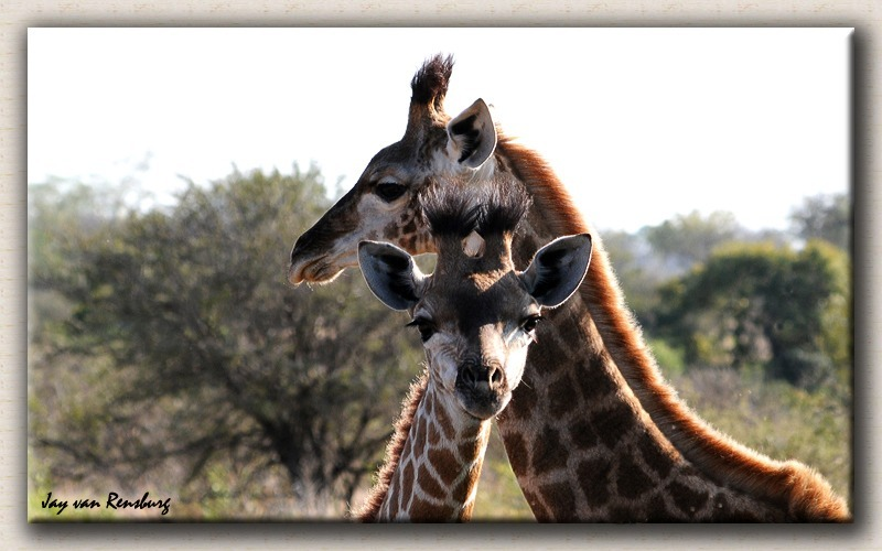 Mom and young Giraffe - Zebra & Giraffe
