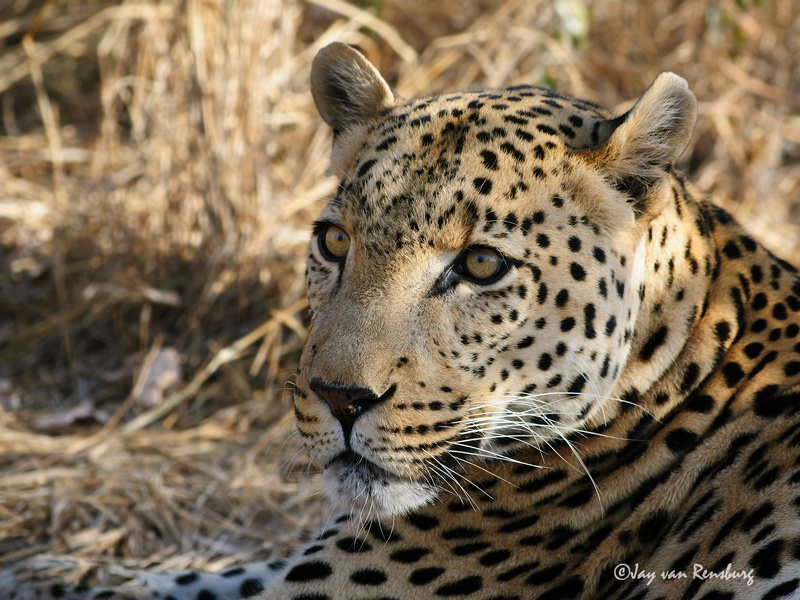 Male Leopard - Big Cats