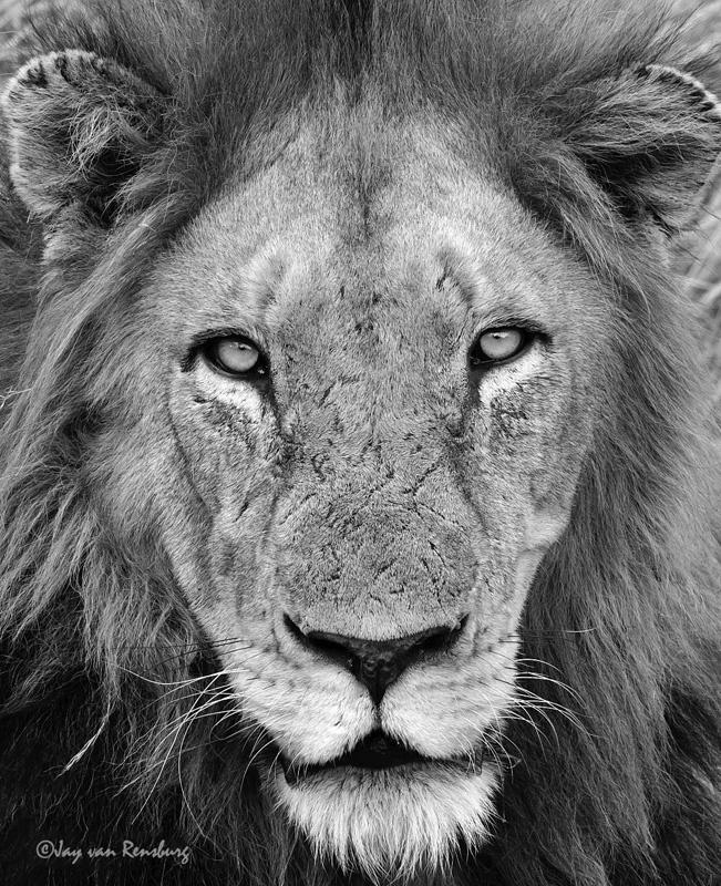 Lion portrait - Big Cats