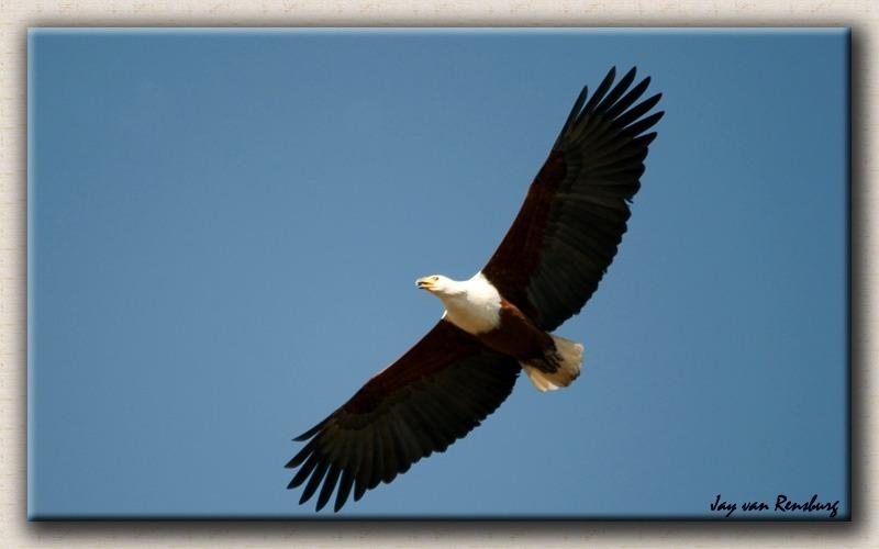 Fish Eagle - Birds in flight