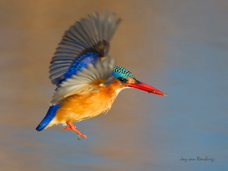 Malachite show - Kingfishers
