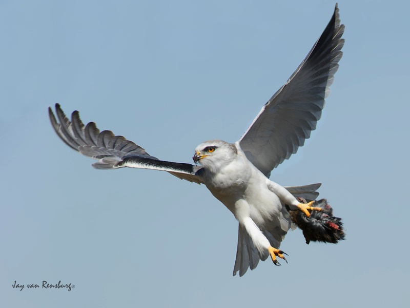 Kite with prey - Raptors