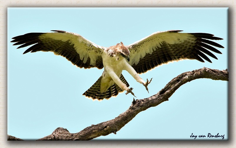 Juvenile Martial Eagle - Birds in flight