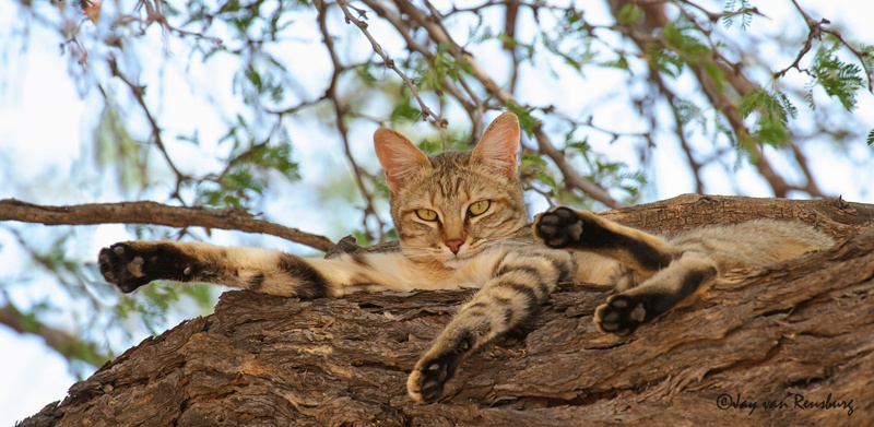 African Wild Cat - Carnivores