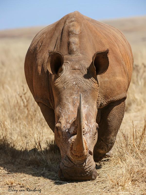 Rhino beauty - Rhino