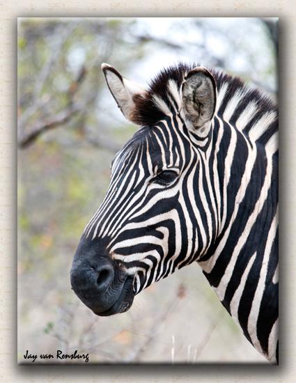 Zebra Profile 3 - Zebra & Giraffe