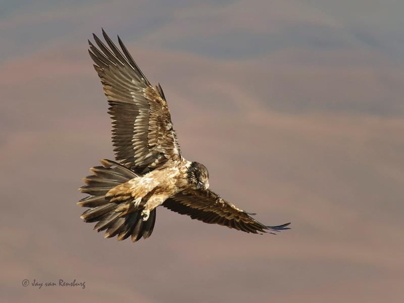 Juv Bearded Vulture - Vultures