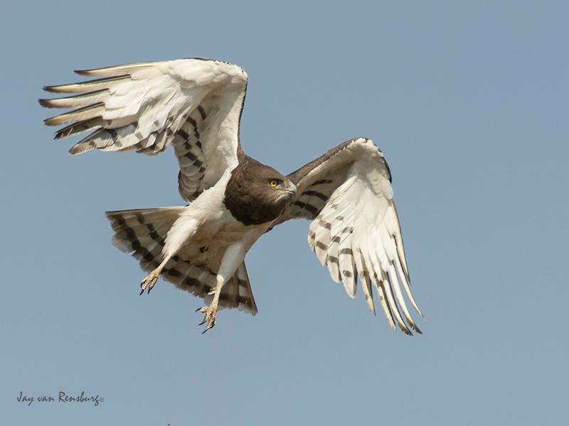 Black-chested Snake Eagle - Raptors