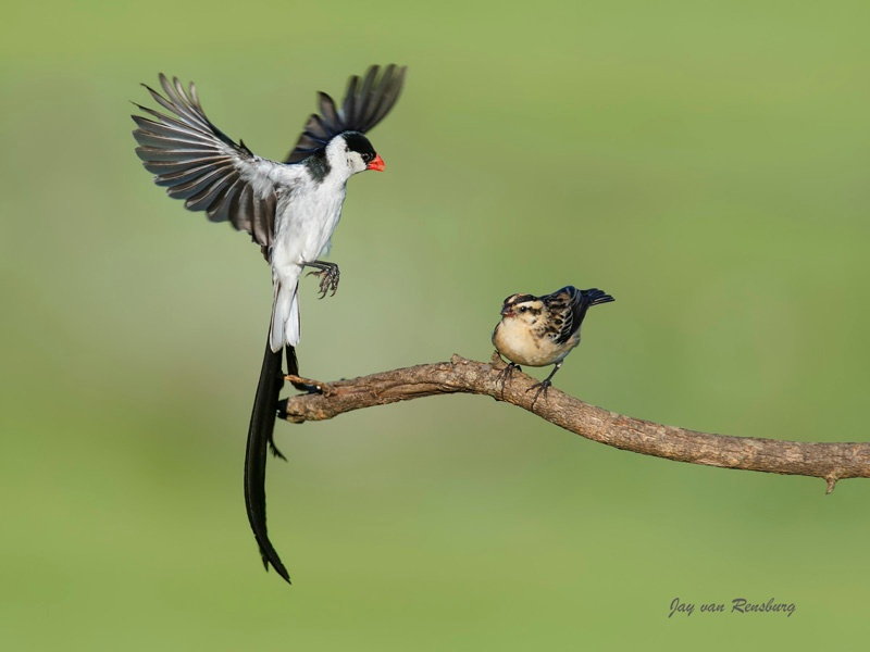 Pin-tailed Whydah courting - Birds