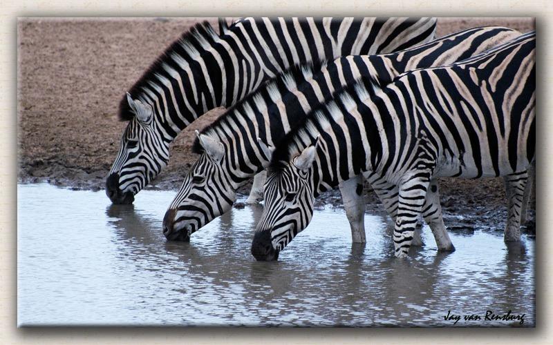 Drinking Zebras - Zebra & Giraffe