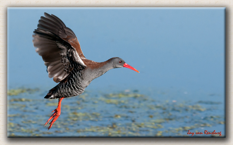African Rail - Birds in flight