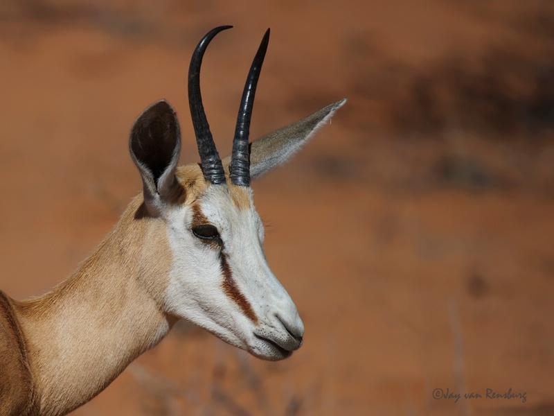 Female Springbok - Antelope